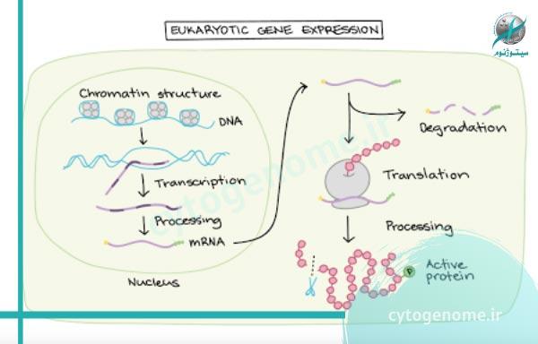 بیان ژن به چه معناست؟