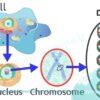 کروموزوم چیست